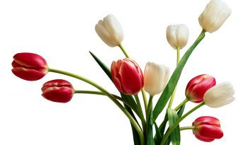 368381-red-and-white-tulips-flower-images
