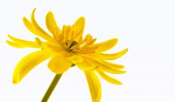 buttercup-759684_1920